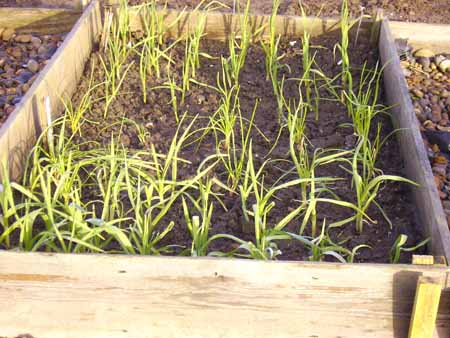 how to grow shallots in pots